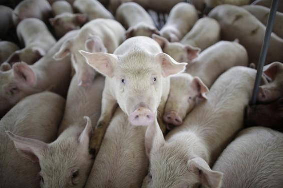 pigs_on_farm.jpg