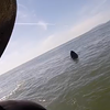 Watch These Gray Whales Frolic With S.F. Paddleboarders (VIDEO)