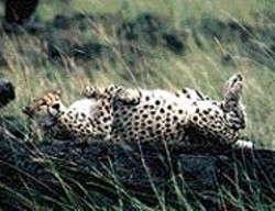 We suggest you don't scratch the cheetah's - belly.