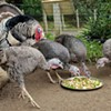 San Francisco Turkeys Gobble This Thanksgiving Meal