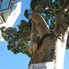 (Not) Seen in S.F.: Koala Bears