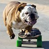 Skateboarding Bulldog 'Tillman' Heading to San Francisco