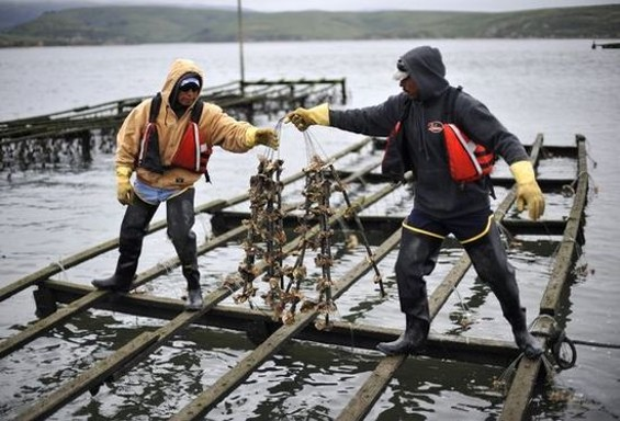 Workers at Drakes Bay Oyster Company, now set to shutter on July 31. - JOSH EDELSON