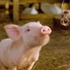 Oakland Residents Generally Don't Want Their Neighbors to Slaughter Animals, Poll Says