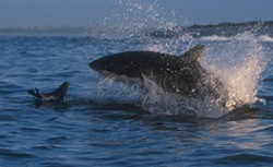 You likely won't be attacked by a shark. But this seal... - CALLAGHAN FRITZ-COPE/PELAGIC SHARK RESEARCH FOUNDATION