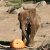 Watch Zoo Creatures Devour Pumpkins