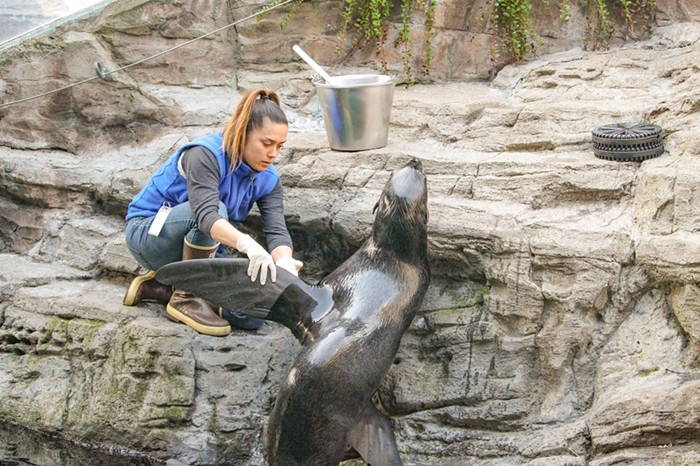 Aubrey Theiss working with northern fur seal Flaherty