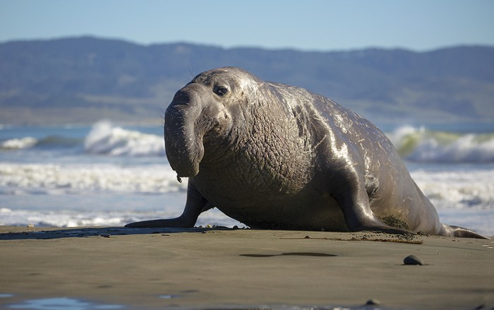 This is not the elephant seal spotted in West Seattle, but I love him anyway.