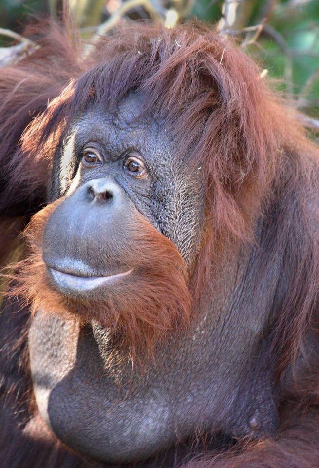 Orangutan 50th Birthday Orangutan 50th Birthda...