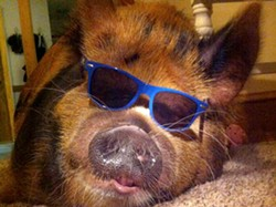 A Chesterfield family says their pet pig, Tucker, provides emotional support. - IMAGE VIA TUCKER'S FACEBOOK PAGE