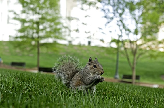 A squirrel on Capitol Square sniffs around the lawn for food. Largely unnoticed these days, the animals are left to fend for themselves and find their own dinners.