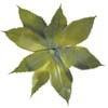 agave100.jpg