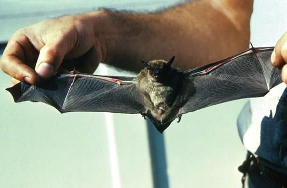news36_bats.jpg