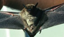 Animal Control Bat Calls Up For 2013