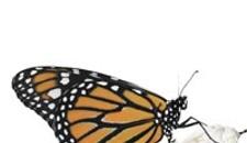 Butterflies swarm Lewis Ginter