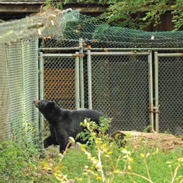 street42_bear_300.jpg