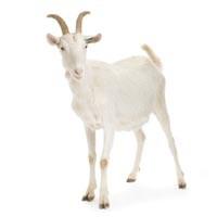 news08_goat_200.jpg