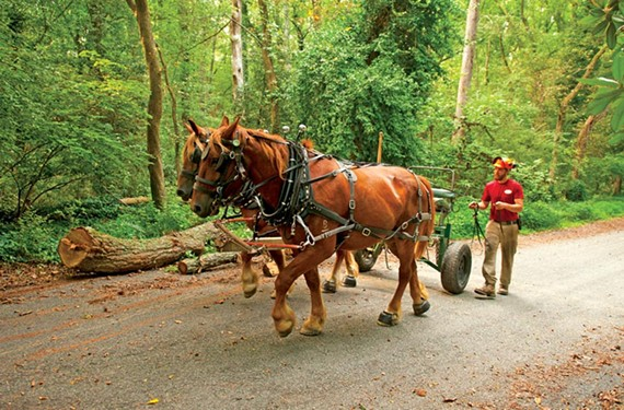 It looks like a pastoral scene, but DiMarco and his horses are actually on a city street. Horse logging is uniquely suited to urban environments, DiMarco says, because the horses are so maneuverable and tread lightly on the land. - SCOTT ELMQUIST