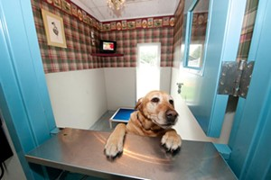 Lucy, Holiday Barn's owner Michael Hughes' yellow lab. - SCOTT ELMQUIST