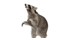 Rabid Raccoon Attacks at Lewis Ginter
