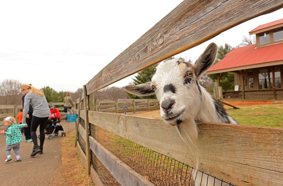 The barn where the goats at Maymont live is due for an overhaul.