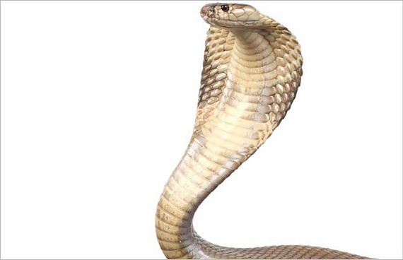 The Humane Society wants to keep primates and dangerous snakes, like this cobra, out of private owners' hands.