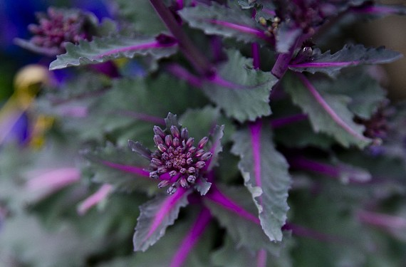Ornamental cabbage. - KRISTEN ZEIS