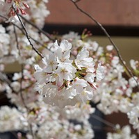 The Fifth Annual Cherry Blossom Festival at VCU Student Commons