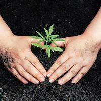 A Cannabis Explainer