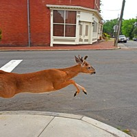 In Union Hill, Deer Go Urban
