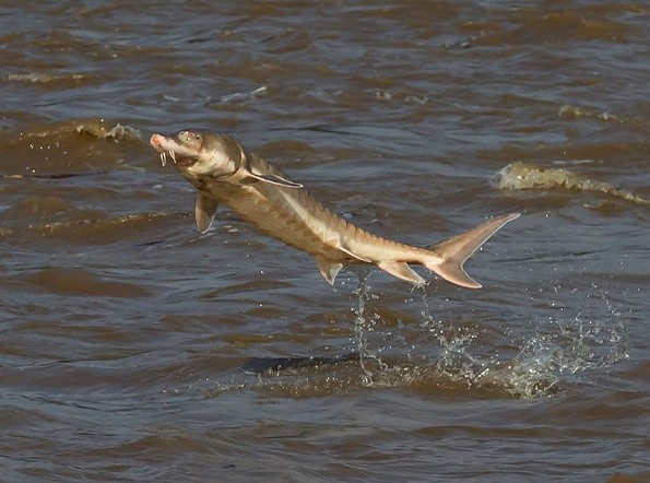 "The Atlantic Sturgeon's ""unmistakable splash"" is one of the coolest things on the James River this time of year."