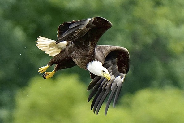 A bald eagle soars looking for food.