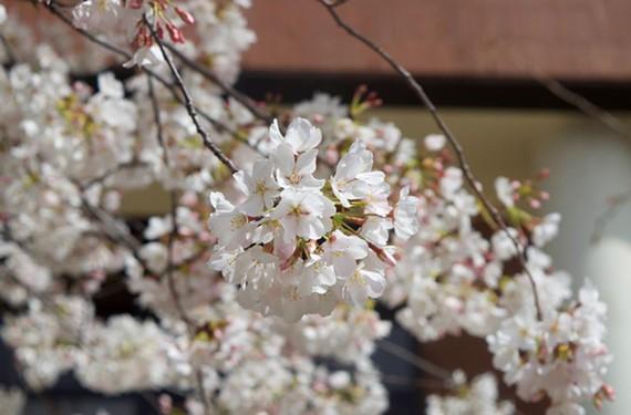 nigh13_cherry_blossom.jpg