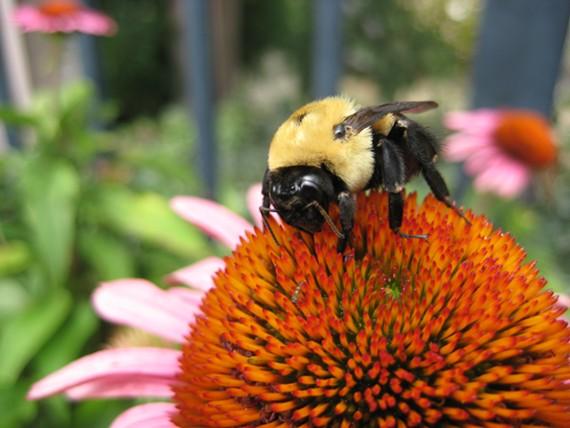 Celebrate pollinators during the Bumblebee Jamboree!