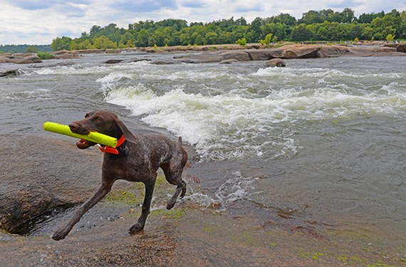 Molly, a German shorthaired pointer, enjoys watery play at Belle Isle.