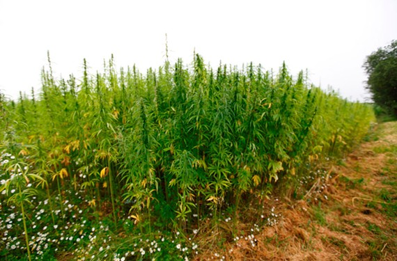 Which kind of hemp grows best in Virginia? Researchers must figure it out to determine potential commercial benefits.