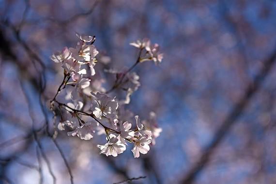 lens_cherry_blossom.jpg