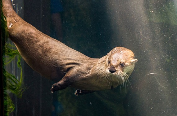 Pandora, swimming in the otter exhibit at Maymont. She was known for racing visitors across the exhibit and performing backflips.