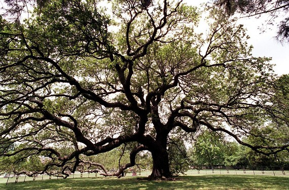 The Emancipation Oak on the campus of Hampton University is a sprawling Live Oak tree that, according to local history, is where slaves gathered to hear the reading of the Emancipation Proclamation.