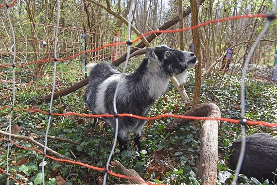 Goats are helping to rid the James River Park system of invasive plants such as ivy.