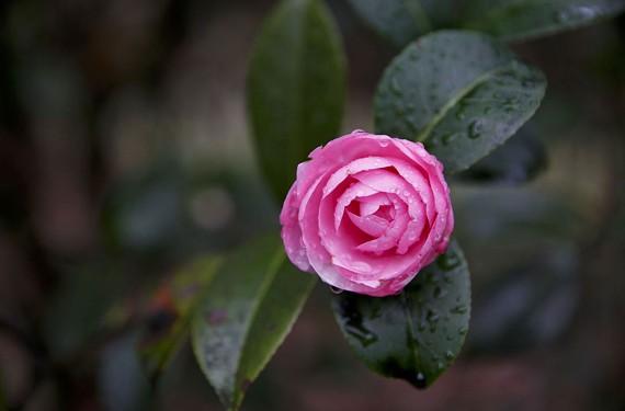 Flowering Camellia