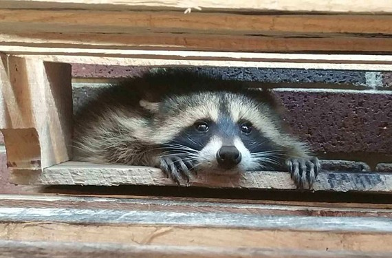 A raccoon that staff at the Virginia Beach Correctional Center have named Bandit arrived at the facility in July  and has been making regular appearances at its canteen storage room window.