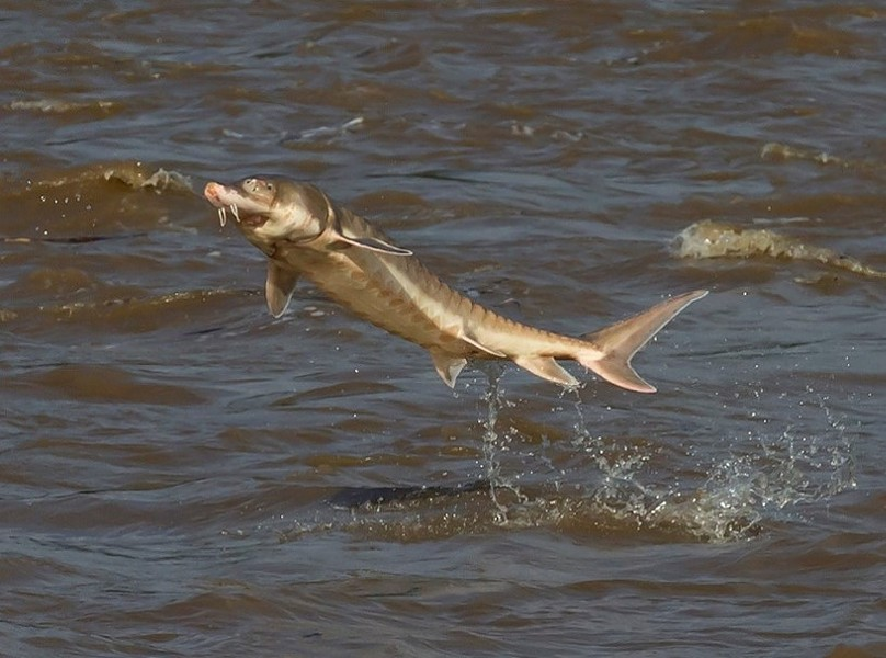 """The Atlantic Sturgeon's """"unmistakable splash"""" is one of the coolest things on the James River this time of year."""