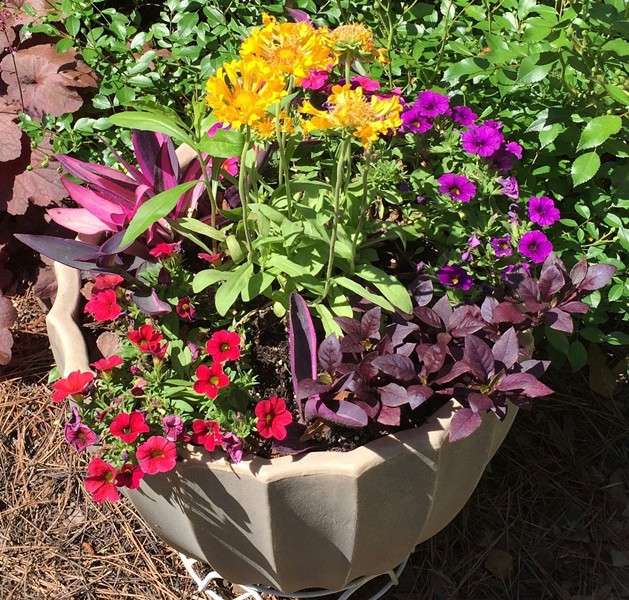 Yellow-blooming Indian blanketflower (Gaillardia pulchella), cherry-red and purple million bells (Calibrachoa), variegated Purple Queen (Tradescantia pallida 'Purpurea') and Little Ruby calico plant (Alternanthera dentata 'Little Ruby'). - JAMESETTA M. WALKER