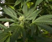 Hampton Roads lawmaker proposes legalizing marijuana in Virginia