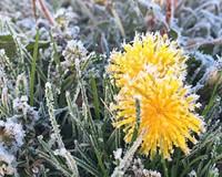 Behind the Photo: Frozen Dandelions