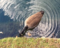 Behind the Photo: Maymont Goose