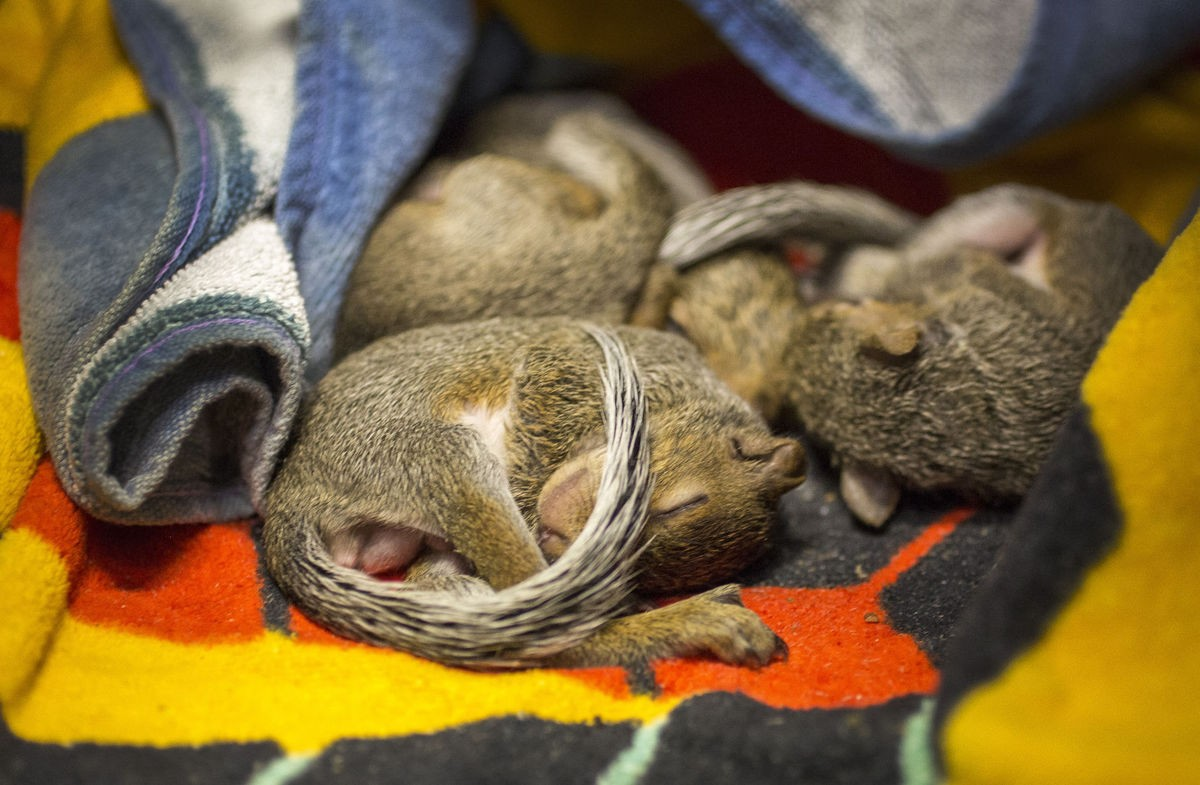 Four baby squirrels, just weeks old, sleep huddled together under a towel at the Virginia Beach Society for the Prevention of Cruelty to Animals. - BILL TIERNAN