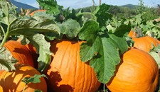 Where Virginia's Pumpkins Come From