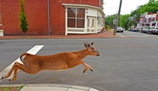 In Union Hill, Deer Go Urban